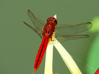 red dragonfly on brown plant