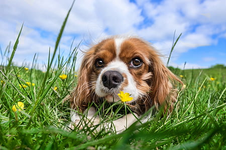 adult tan and white Cavalier King Charles spaniel lying on green grass field during daytime under blue sky and white clouds