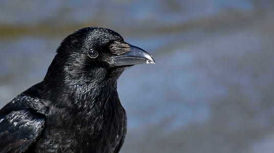 close up photography of black crow