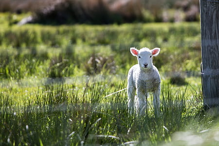 lamb standing on grass field