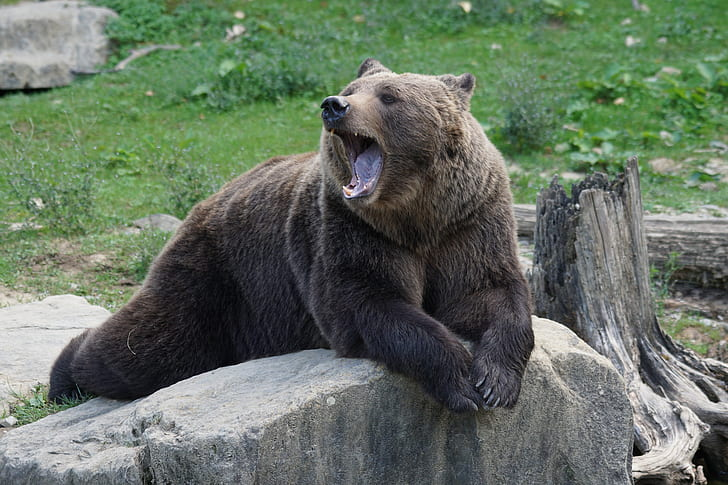 brown wild bear on top of gray rock photo