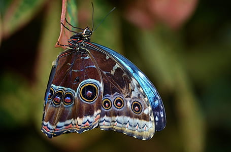 blue and brown peacock butterfly close-up photography