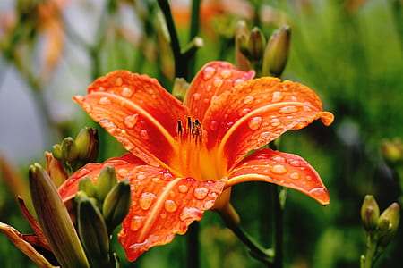close-up photograph of orange daylily