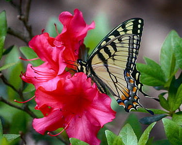 tiger swallowtail butterfly perched on pink flower