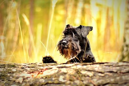 black and tan miniature schnauzer on field