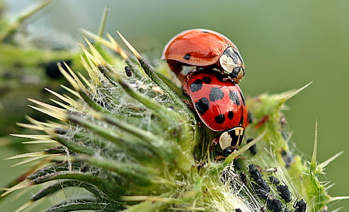 closeup photo of two ladybirds