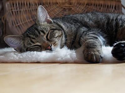 Brown Tabby Cat Lying on Shag Rug