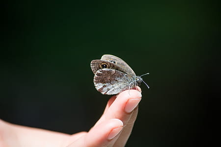 Owl Butterfly on Human Finger