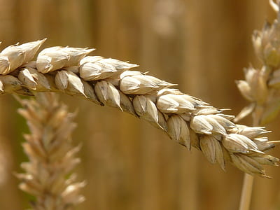 close-up view of brown barley