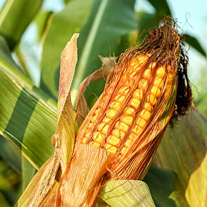 closeup photo of corn