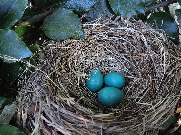 three Eurasian starling eggs on nest