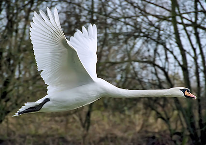 white goose flying during daytime