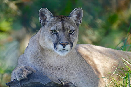mountain lion photo during daytime