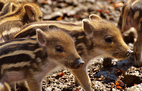 brown and black piglets