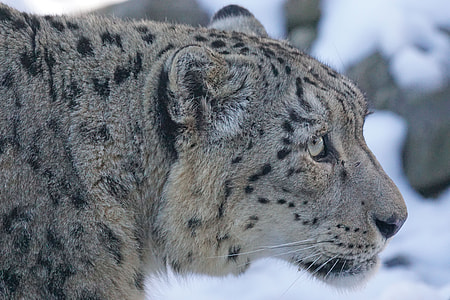 gray and black snow leopard