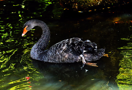 gray and orange Cygnus olor swan photo