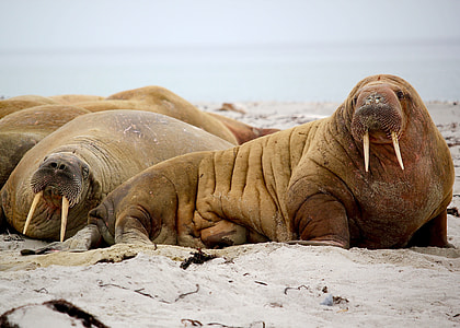 photography of Walrus on seashore
