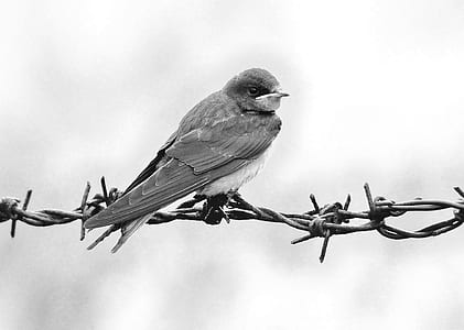 grayscale photography of swallow perched on barbwire