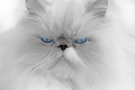 grayscale photo of Persian cat