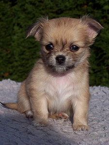 short-coat brown puppy sits on ground