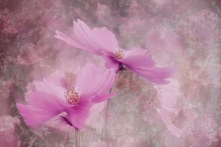 two pink cosmos flowers painting