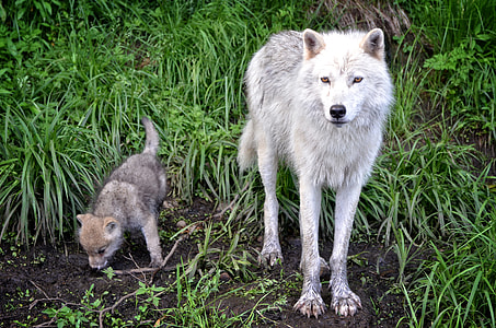 white wolf and cub on green grasses