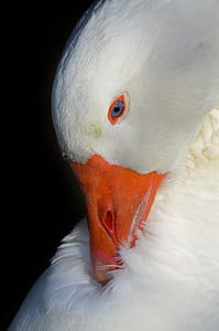 macro photography of white pecking duck