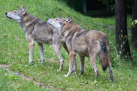 two brown wolves standing on green grass during daytime
