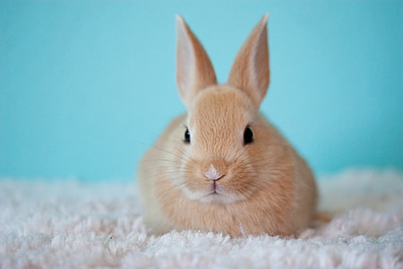 brown rabbit on white rug
