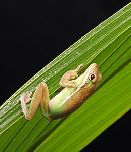 brown and green frog