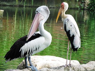 two Pelican birds
