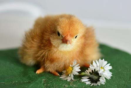 white chick beside white Daisy flower