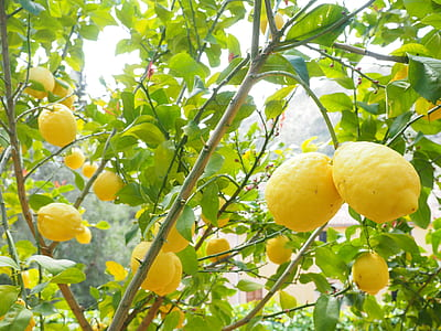 low-angle photography of lemon tree