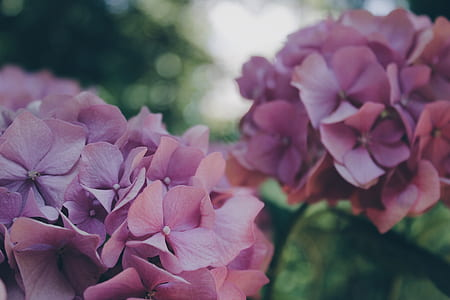 purple hydrangeas flowers in selective-focus photography