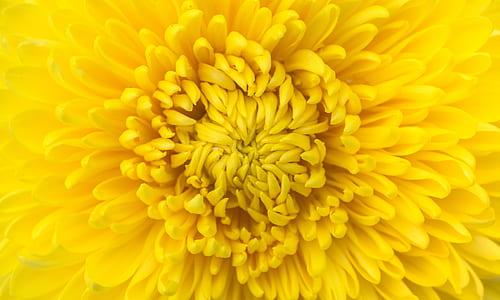 yellow chrysanthemum flower in closeup photo