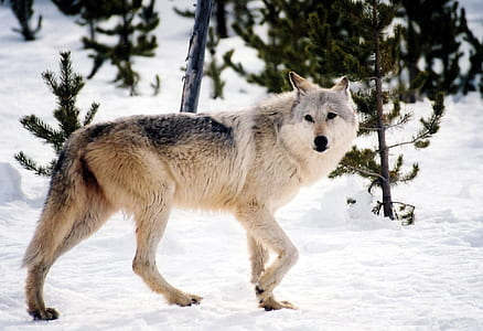 white, gray, and black wolf