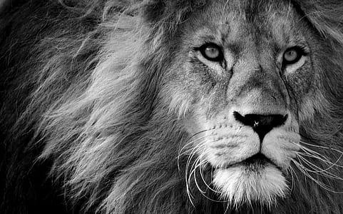lion photography