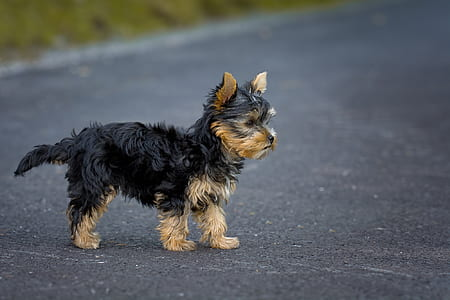 black and tan Yorkshire terrier puppy stands on concrete pavement at daytime