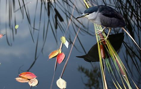 black-crowned night heron on water during daytime
