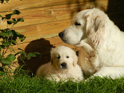 adult yellow Labrador retriever with puppie s