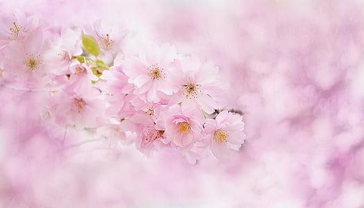 selective focus photography pink cherry blossoms