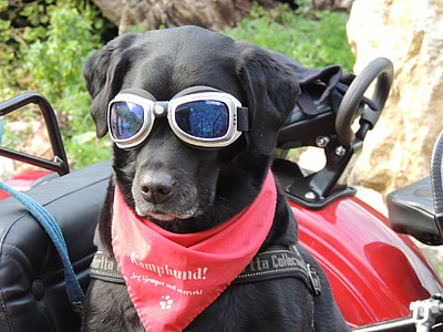 adult black Labrador retriever wearing gray goggles and red handkerchief