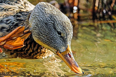 gray and brown duck