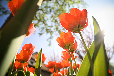 Another Tulips from below
