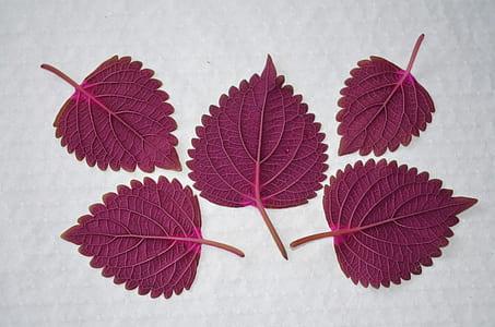 five purple leaves