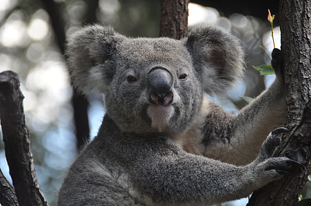 gray Koala Bear on tree branch
