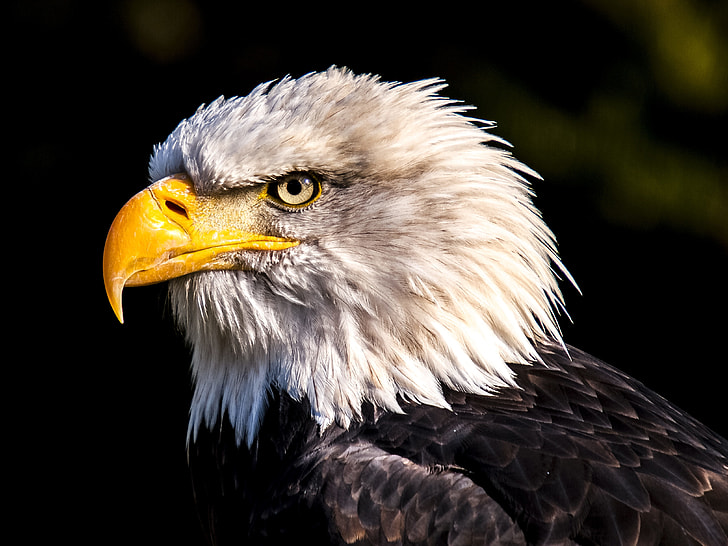 shallow focus of white and black eagle