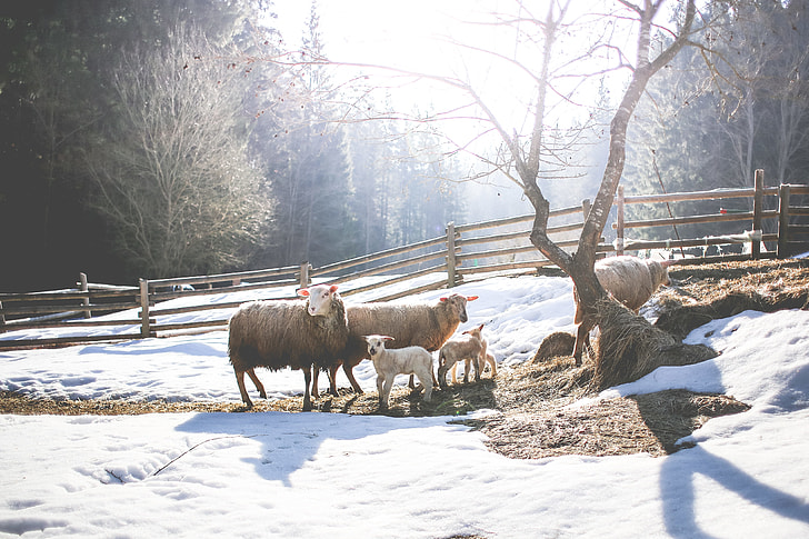 Sheep Family in Winter