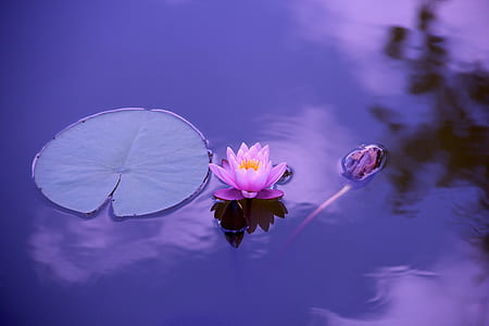 pink lotus flower on body of water