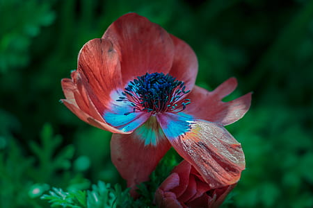 red pasqueflower in close up photography